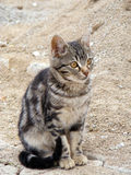 O gato interessante e bonito da rua representa apropriado para anunciar e projeta-o Fotografia de Stock