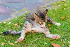 O gato lambe-se Fotografia de Stock