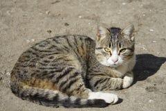 O gato listrado desabrigado Imagens de Stock Royalty Free