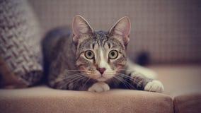 O gato listrado em um sofá foto de stock