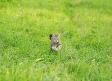 o gato listrado home bonito está correndo rapidamente no gra verde foto de stock
