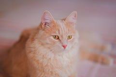 O gato macio está descansando Fotos de Stock Royalty Free