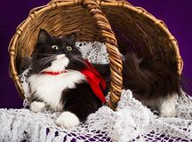 O gato macio preto e branco encontra-se em uma cesta Imagem de Stock