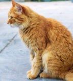 O gato macio vermelho adulto senta-se na rua lateralmente foto de stock royalty free