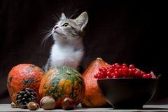 O gato malhado da cor da vaquinha da vida do destilador do outono senta-se em um pano de saco atrás de três abóboras brilhantes e fotografia de stock