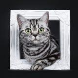 O gato malhado de prata preto excelente blotched o gatinho britânico eyed verde de Shorthair, isolado no fundo preto imagens de stock royalty free