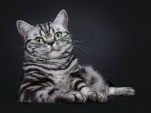 O gato malhado de prata preto excelente blotched o gatinho britânico eyed verde de Shorthair, isolado no fundo preto fotos de stock