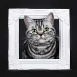 O gato malhado de prata preto excelente blotched o gatinho britânico eyed verde de Shorthair, isolado no fundo preto fotografia de stock royalty free