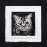 O gato malhado de prata preto excelente blotched o gatinho britânico eyed verde de Shorthair, isolado no fundo preto imagens de stock