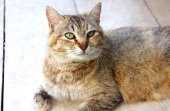O gato manchado listrado olha no assoalho foto de stock