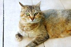 O gato manchado listrado olha no assoalho foto de stock royalty free
