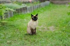 O gato marrom bonito, Siamese, com olhos azul esverdeado senta-se em uma grama verde Fotografia de Stock Royalty Free