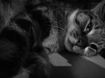O gato misterioso calmo bonito apenas acorda Foto de Stock Royalty Free