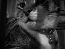 O gato misterioso calmo bonito olha direito Imagens de Stock Royalty Free