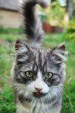 O gato mostra a língua. Imagem de Stock Royalty Free