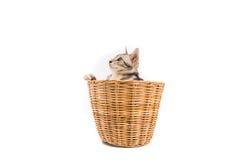 O gato na cesta, olhar fora, isolou o fundo branco Imagens de Stock Royalty Free