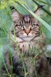 O gato na grama Imagem de Stock