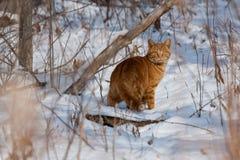 O gato na neve cobriu a floresta Foto de Stock Royalty Free