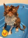 O gato na oxidação azul do fundo da banheira coloriu o pato molhado engraçado da borracha do gato fotografia de stock