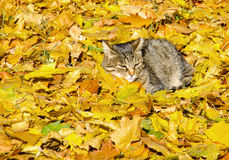 O gato nas folhas Fotos de Stock Royalty Free