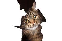 O gato olha fora de um furo de papel, isolado em b branco Imagens de Stock