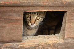 O gato olha para fora o entalhe da porta Fotos de Stock Royalty Free