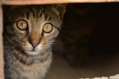 O gato olha para fora o entalhe V da porta Imagem de Stock