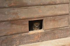 O gato olha para fora o entalhe VI da porta Fotos de Stock Royalty Free