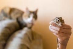 O gato olha um rato pequeno do gerbo Luz natural Imagem de Stock Royalty Free