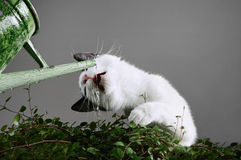 Água potável do gato Imagens de Stock Royalty Free