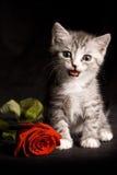 O gato pequeno que senta-se na tabela perto do vermelho levantou-se Fotos de Stock Royalty Free