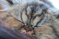 O gato persa amarelo sonolento Fotografia de Stock Royalty Free