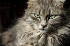 O gato persa bonito com cabelo cinzento longo olha-o com seus olhos de um profundo mágico - verde imagem de stock royalty free