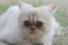 O gato persa branco bonito confundiu tão bonito ao sul de Tailândia Fotografia de Stock