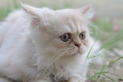 O gato persa branco confundiu tão bonito ao sul de Tailândia Imagens de Stock Royalty Free