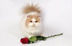 O gato persa com levantou-se fotos de stock