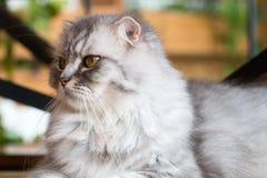 O gato, persa da vaquinha senta e vê o isolado no fundo, vista dianteira da parte superior fotografia de stock