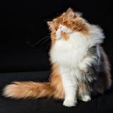 O gato persa grande vermelho custa no fundo escuro Foto de Stock