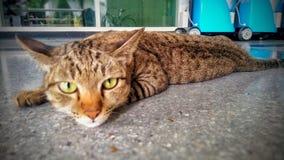O gato preguiçoso Imagens de Stock