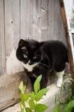 O gato preto e branco é parede de madeira velha próxima ereta do vill imagens de stock royalty free