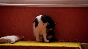 O gato preto e branco bonito encontra-se em uma bateria do aquecimento central e acena-se sua cauda filme