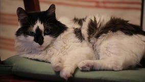 O gato preto e branco bonito sério coloca em uma cadeira e olha na câmera filme