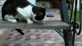 O gato preto e branco doméstico ou desabrigado com fome, com um apetite, come uma parte de carne ou da outra rapina nas etapas de video estoque