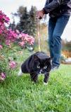 O gato preto e branco energético está correndo na grama verde ao andar no chicote de fios com proprietário fotos de stock royalty free