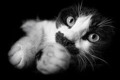 O gato preto e branco engraçado está esticando seus pés fotografia de stock
