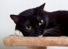 O gato preto e branco pôs sua pata sob sua cabeça fotografia de stock royalty free
