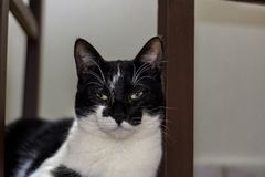 O gato preto e branco que descansa atr?s da cadeira foto de stock royalty free