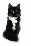 O gato preto isolado no fundo branco Imagens de Stock