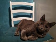 O gato que encontra-se na cadeira com cabeça transformou em um lado Fotografia de Stock