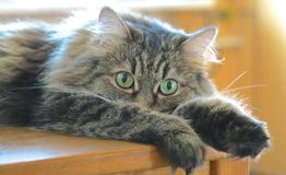 O gato que encontra-se na tabela Fotografia de Stock Royalty Free